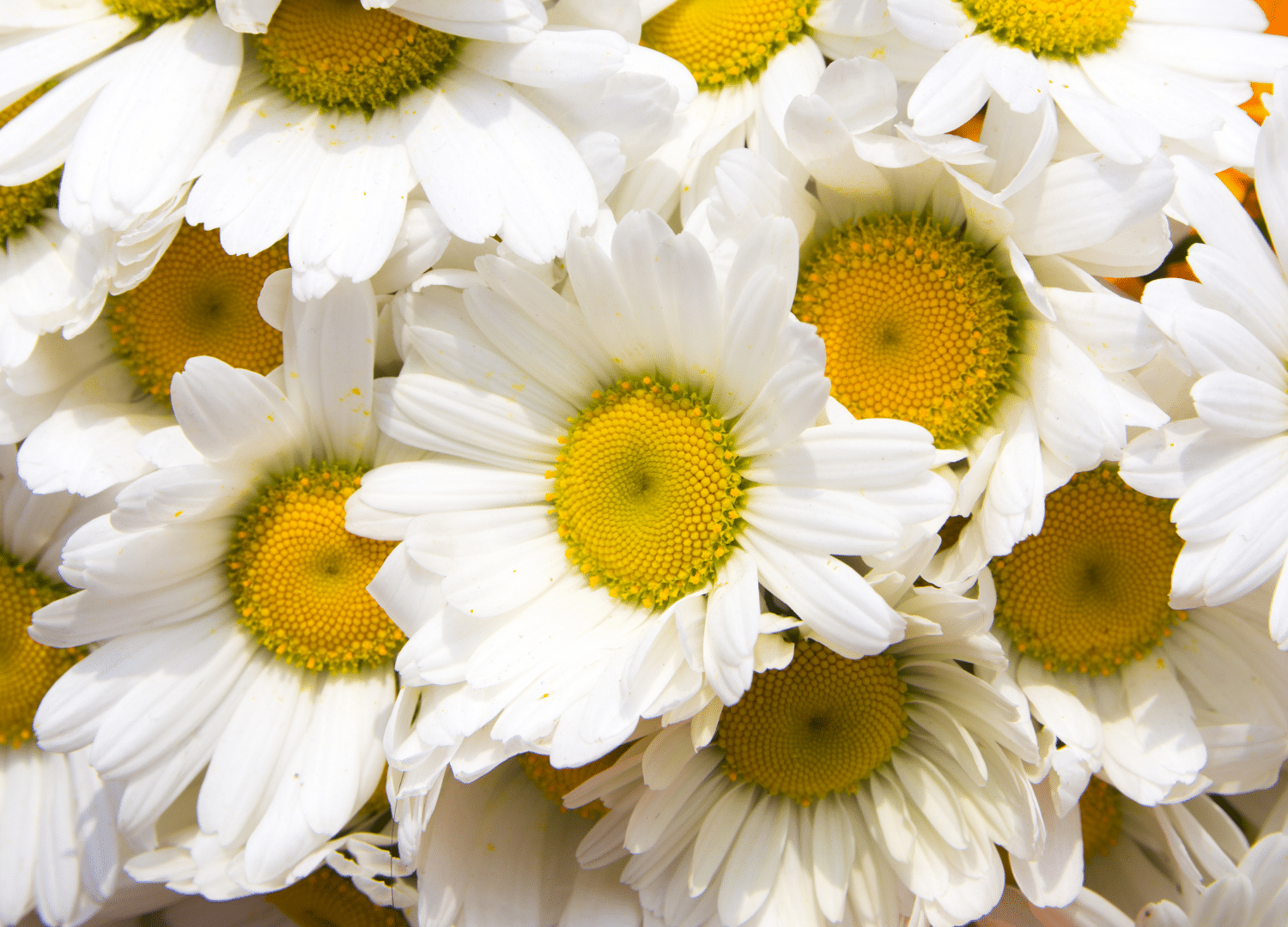 Close up picture of some white and yellow perennial flowers